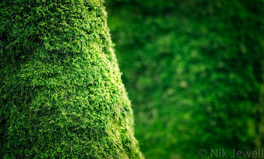 Shallow depth of field image of twin trunked moss covered tree in Passage Woods, Noss Mayo, South Devon