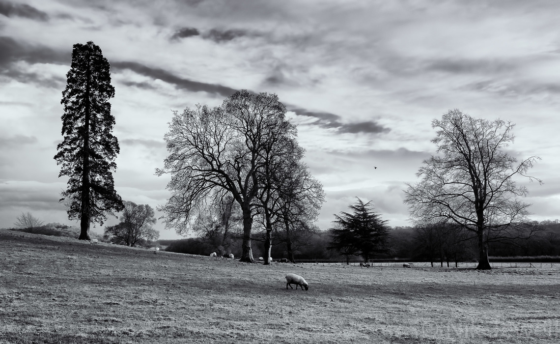 Attractive trees and sheep on a winter afternoon in a field to the Southeast of the Bishops Palace in Wells, Somerset.