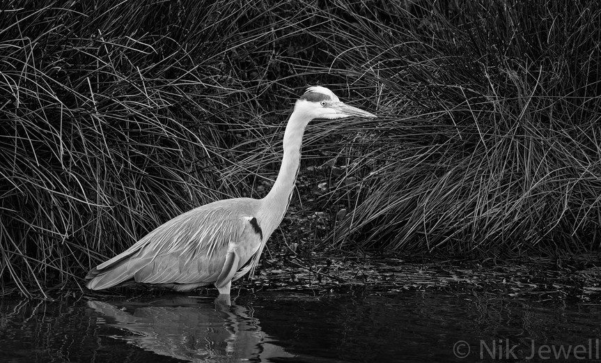 Heron fishing on the canal at Bude, North Cornwall