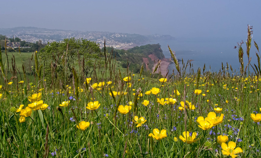 Buttercups in a field at Bundle Head above The Ness at Shaldon with a backdrop of Teignmouth in South Devon