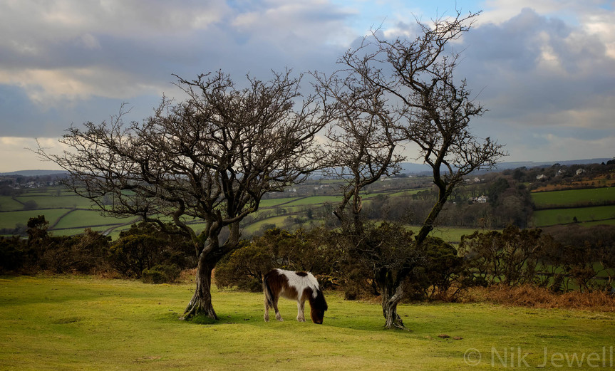 A Dartmoor Pony grazing between two bare trees in the Upper Plymouth valley near Sheepstor on Dartmoor in Devon.