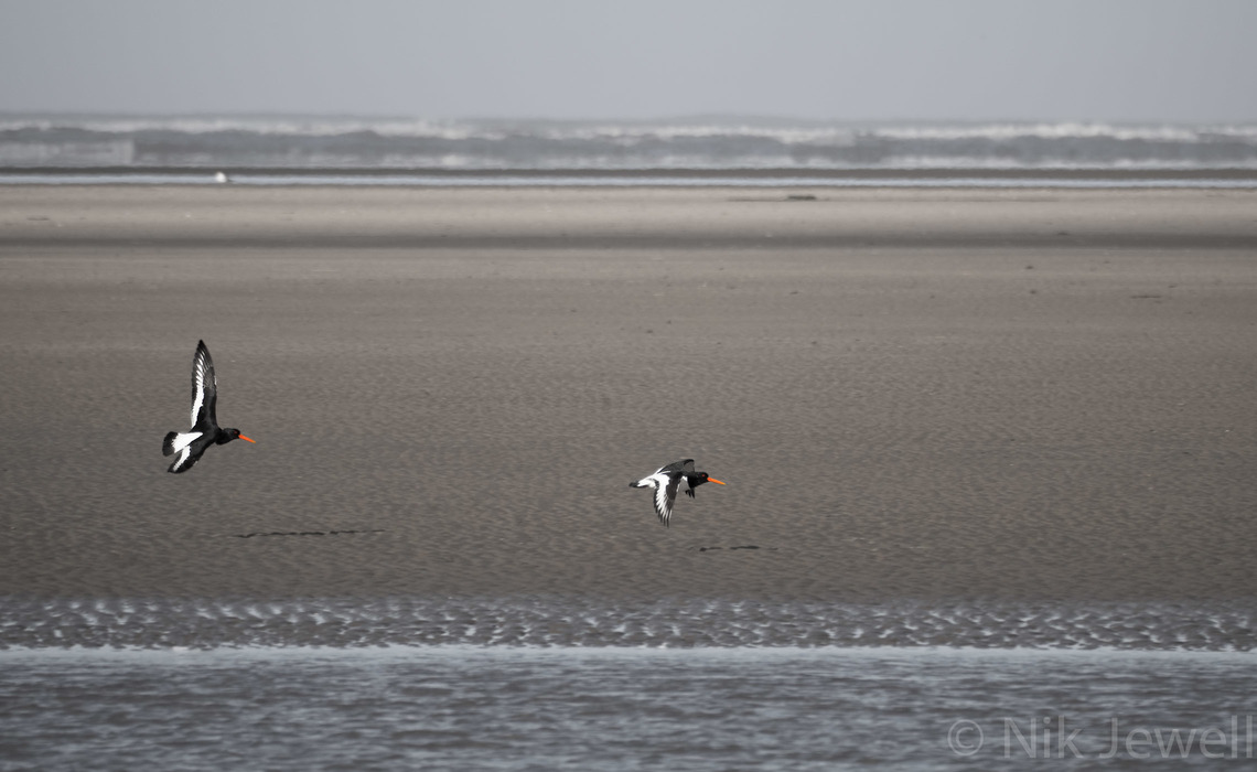 A pair of Oystercatchers in flight over the beach at Westward Ho! in North Devon
