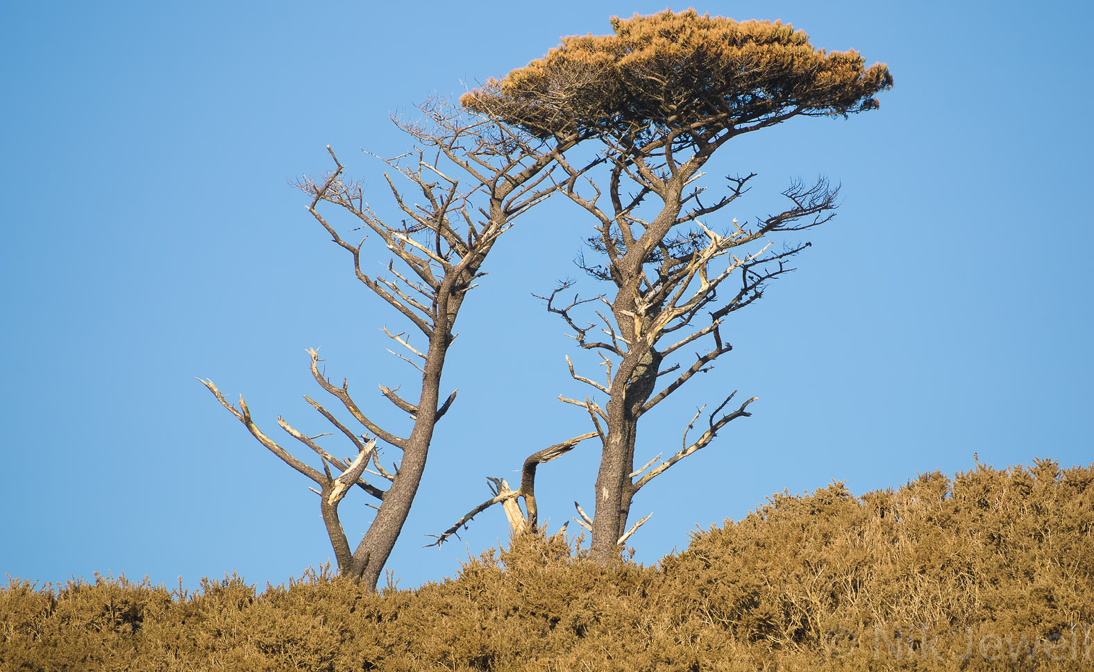 Dead tree and live tree near Mothecombe in the South Hams of Devon