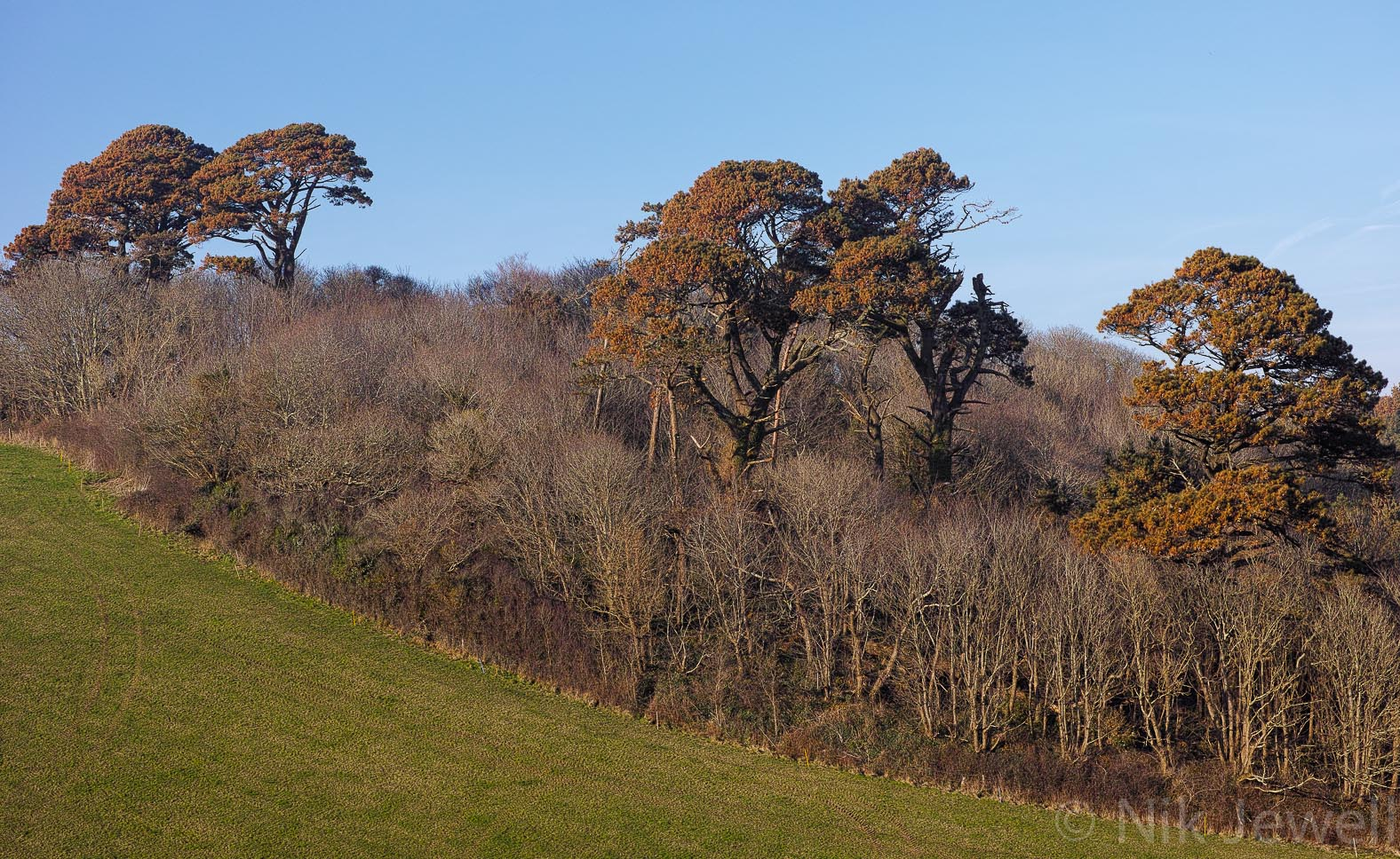 Salt burnt pine trees in Mothecombe Grove in the South Hams of Devon